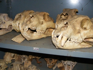 Livingstone Museum collections - Mammalogy Section
