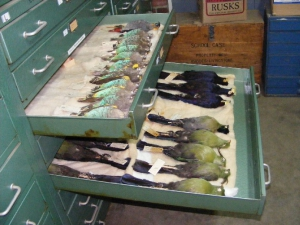 Livingstone Museum collections - Ornithology Section